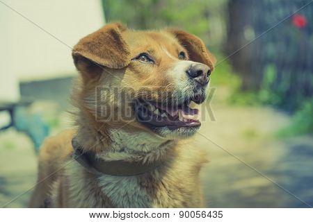 Redhead dog portrait
