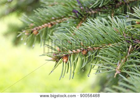 Spruce tree branch and waterdrops