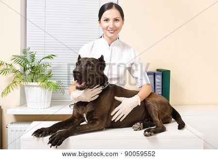Dog breed Staffordshire Terrier at the vet