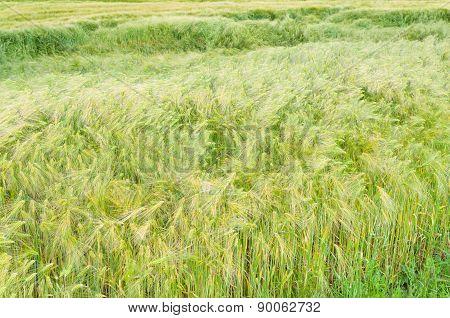 Green Barley Field Closeup
