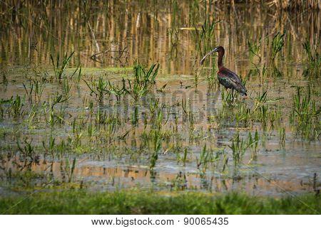Ibis On Lake Prespa, Greece