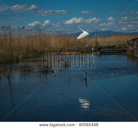 Great White Egret At Lake Prespa, Greece