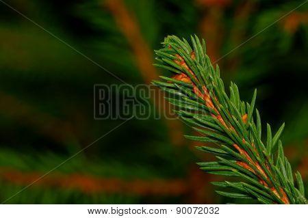 Coniferous Twig
