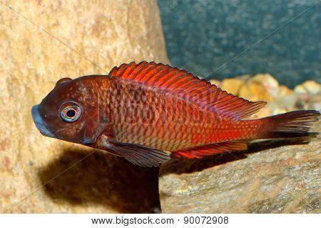 Tropheus Fish