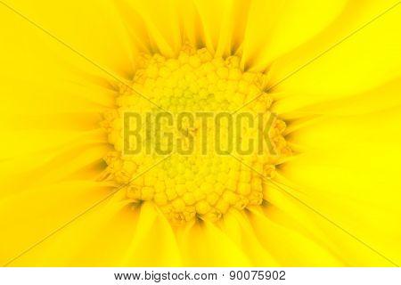 Glowing Yellow Daisy Flower