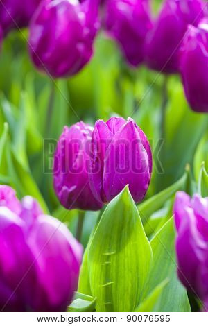 Purple Tulips And Leaves In The Spring.