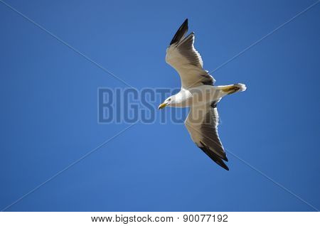 gliding seagull on blue sky