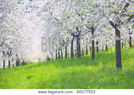 Blooming Apple Orchard With Yellow Dandelions In Spring