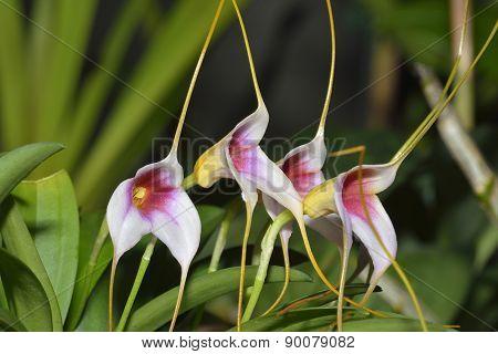 Masdevallia Orchid Hybrid