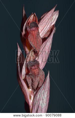 Serapias Levantina Orchid