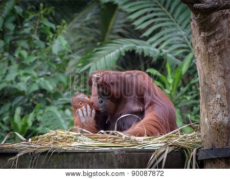 Little Orangutan Hugging His Mom