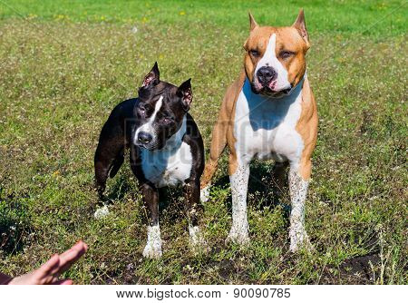 American Staffordshire Terriers under comand.