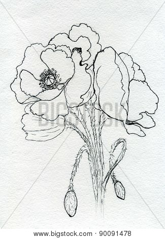 Poppy Flowers Sketch
