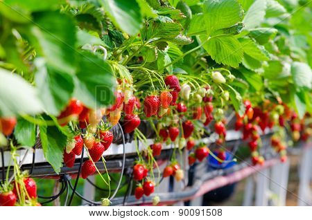 Strawberries being grown