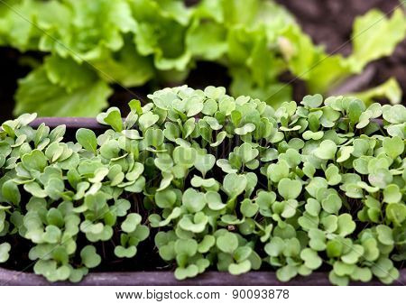Home gardening - young rucola ( arugula ) in the flowerpot