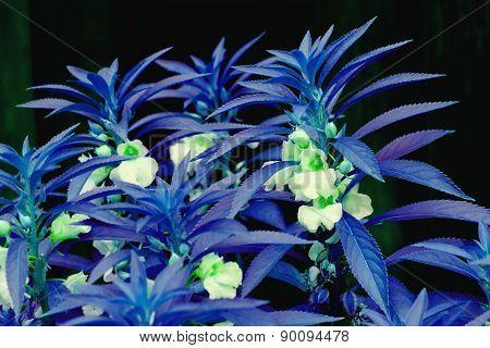 Flower Garden Balsam In Blue