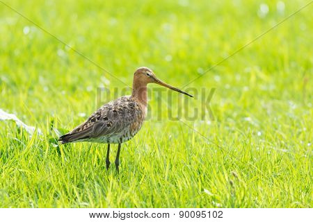 black-tailed godwit walking in green grass