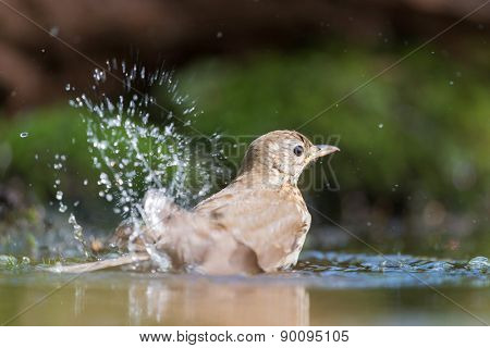 Mistle Thrush taking a bath in nature water