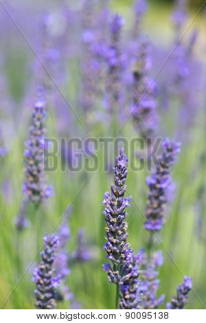 Close up from blooming lavender in the fields
