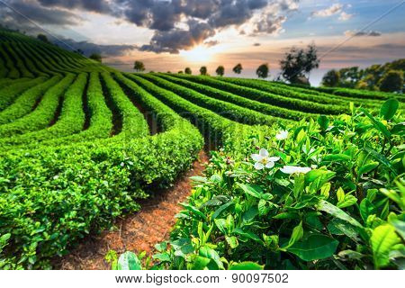 Tea Plantations under sky during sunset