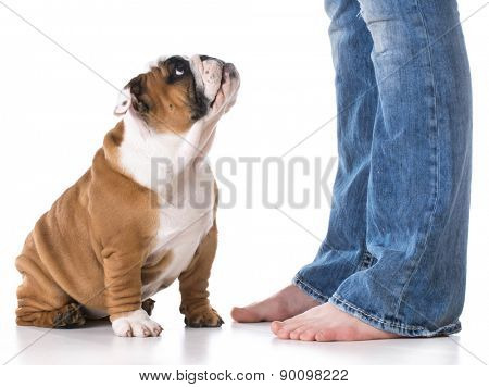 woman's legs with puppy sitting looking up at her - bulldog