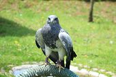 stock photo of buzzard  - A Black Chested Buzzard Eagle on a perch at an outdoor bird sanctuary near Otavalo - JPG