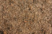 pic of pine-needle  - Dry pine needles on the ground closeup view natural background - JPG