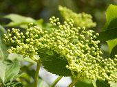 stock photo of elderberry  - Photo detail of new bloom of elderberry - JPG