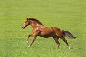 picture of wild horse running  - red horse run on the green field - JPG