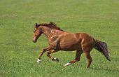 stock photo of wild horse running  - red horse run in the green field - JPG