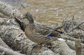 picture of canard  - A female mallard duck on the fallen trees on the bank of the creek - JPG