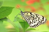 pic of nymphs  - Large Tree Nymphs butterfly and green leaf,a beautiful butterfly on the green leaf in garden,Paper Kite butterfly,