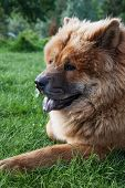 stock photo of chow  - beautiful red dog chow lying on the grass - JPG