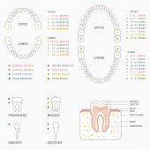 foto of human teeth  - human tooth anatomy chart - JPG