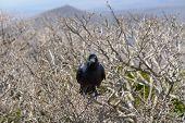 pic of craw  - wild black craw on a brach at Hallasan mountain in Jeju Island Korea - JPG