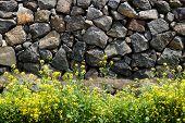 stock photo of rape-seed  - yellow rape flowers in a full bloom against a Jeju Traditional Stone wall in Jeju Island Korea - JPG