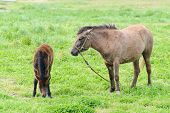image of pony  - young and mother pony - JPG