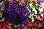 stock photo of lobelia  - blue lobelia and pink and white impatiens flower in hanging basket  - JPG
