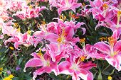 foto of rain  - Pink zephyranthes lily flower  - JPG