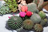 picture of thorns  - Close up of globe shaped cactus with long thorns - JPG