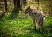 image of coyote  - A common North American coyote  - JPG
