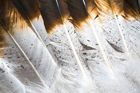 foto of indian  - A close up photo of Native American Indian feathers in white and brown - JPG
