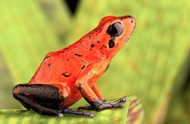 pic of rainforest  - red poison arrow frog - JPG