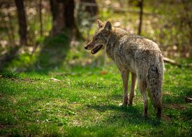 stock photo of coyote  - A common North American coyote  - JPG