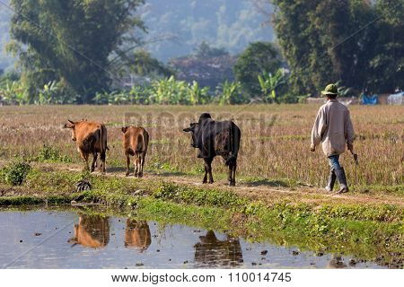 Vietnamese farmer and cows crossing a rice field in the Mai Chau village