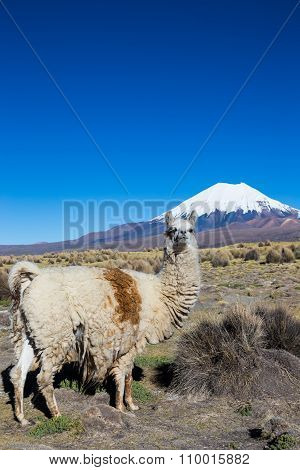A Llama In Andean Mountains, Sajama Park, Bolivia,