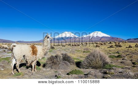 Herd Of Llamas Andean, Grazing In The Highlands Of The Andes