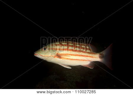 Chequered Snapper fish