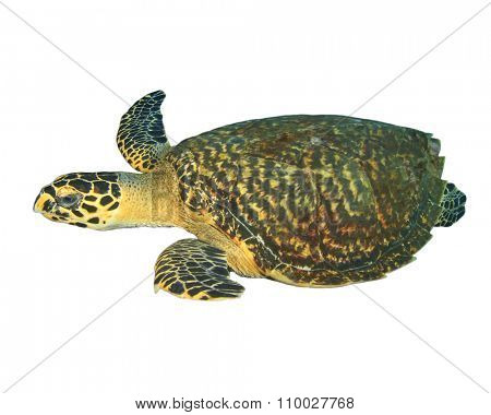 Hawksbill Turtle cut out isolated white background