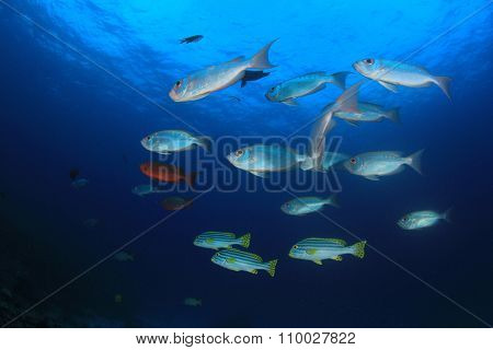 School Bigeye fish